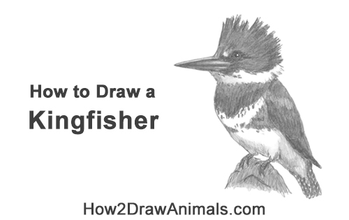 How to Draw a Belted Kingfisher Female