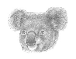 How to Draw a Koala Portrait Face Head Detail