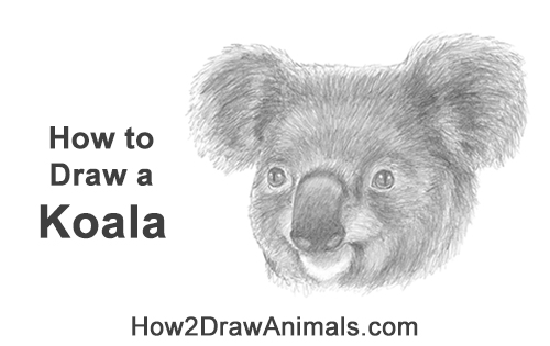 How to Draw a Koala Head Face Portrait