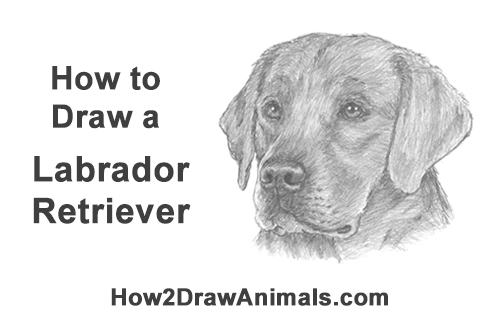 How to Draw Dog Labrador Retriever Head Portrait
