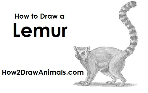 Draw Ring-Tailed Lemur