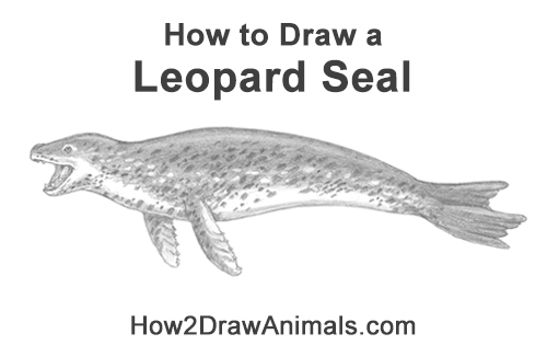 How to Draw a Sea Leopard Seal Side View