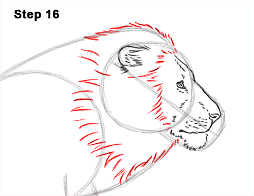 How to Draw Male Lion Running Side 16