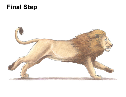 How to Draw Male Lion Running Color Side