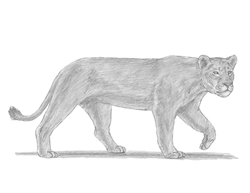 How to Draw a Female Lion Lioness