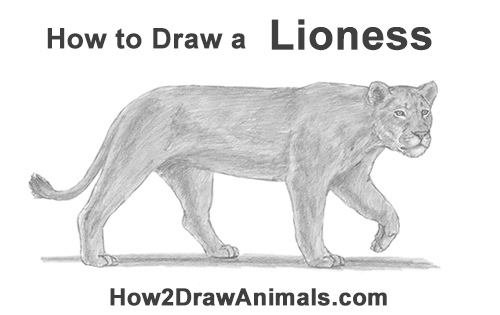 How to Draw a female Lion