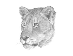 How to Draw a Lion Lioness Head Portrait