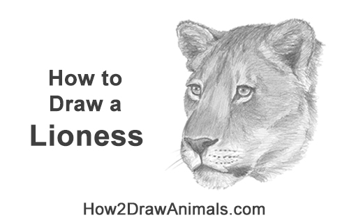 How to Draw a Lioness Head Face Portrait