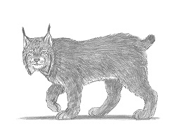 How to Draw a Lynx Bobcat Cat Side