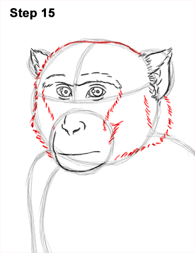 How to Draw a Rhesus Macaque Monkey Sitting 15