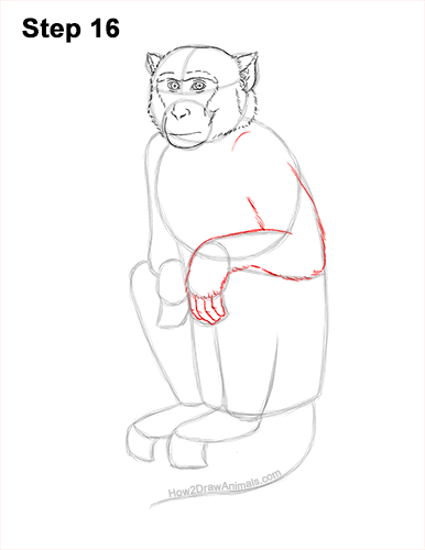 How to Draw a Rhesus Macaque Monkey Sitting 16