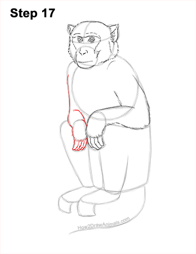 How to Draw a Rhesus Macaque Monkey Sitting 17