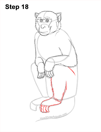 How to Draw a Rhesus Macaque Monkey Sitting 18