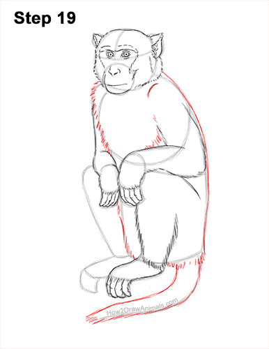How to Draw a Rhesus Macaque Monkey Sitting 19