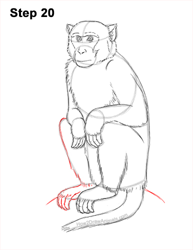 How to Draw a Rhesus Macaque Monkey Sitting 20