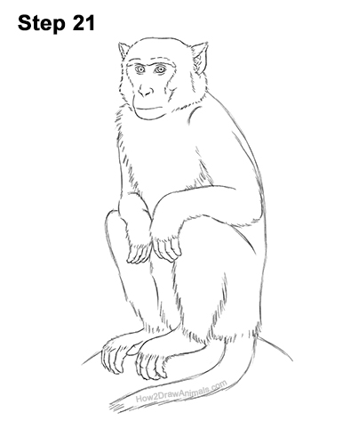 How to Draw a Rhesus Macaque Monkey Sitting 21