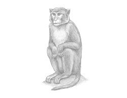 How to Draw a Rhesus Macaque Monkey Sitting