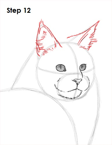 Draw Maine Coon Cat 12