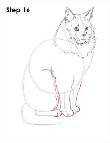 Draw Maine Coon Cat 16