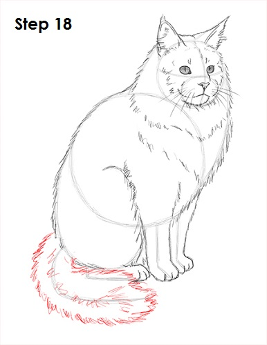 Draw Maine Coon Cat 18