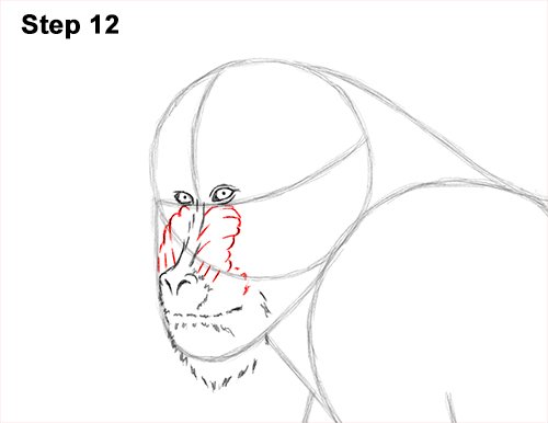 How to Draw Male Mandrill Baboon Monkey Walking 12