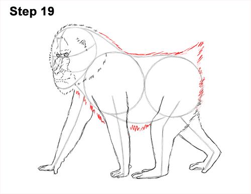 How to Draw Male Mandrill Baboon Monkey Walking 19