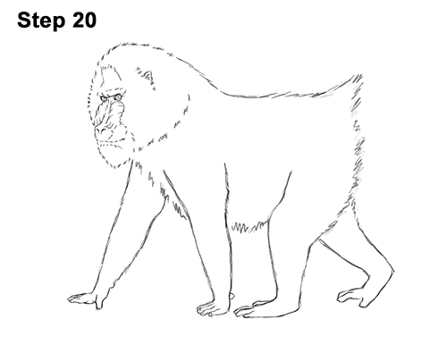 How to Draw Male Mandrill Baboon Monkey Walking 20
