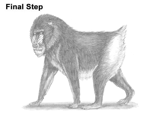 How to Draw Male Mandrill Baboon Monkey Walking