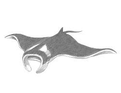 How to Draw a Giant Oceanic Manta Ray