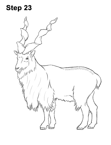 How to Draw a Bukharan Markhor Male Side View 23