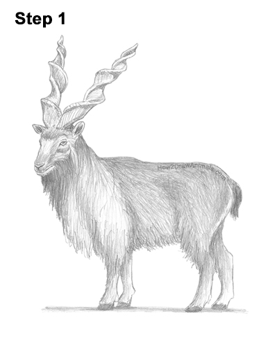 How to Draw a Bukharan Markhor Male Side View