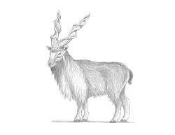 How to Draw a Markhor Bukharan Side View