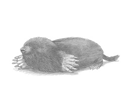 How to Draw Common European Mole