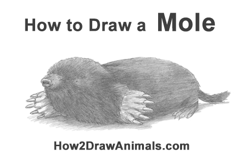 How to Draw a Common European Mole Side