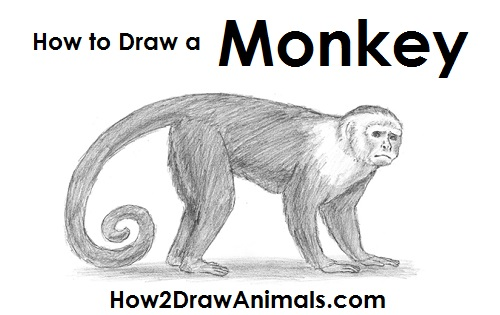 Draw Capuchin Monkey