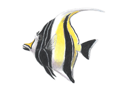 How to Draw a Moorish Idol Fish
