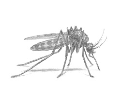 How to Draw a Mosquito Feeding