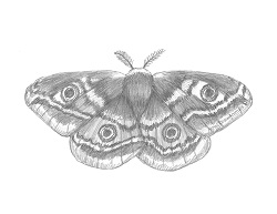 How to Draw an Emperor Moth Insect Wings