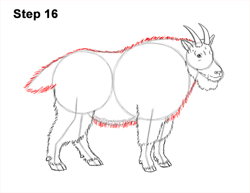 How to Draw a White Rocky Moutain Goat 16