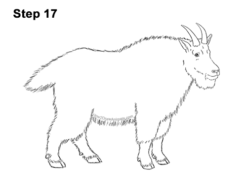 How to Draw a White Rocky Moutain Goat 17