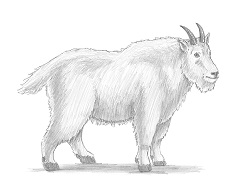 How to Draw a Male Rocky Mountain Goat Side View