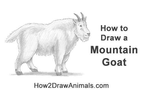 How to Draw a White Rocky Moutain Goat