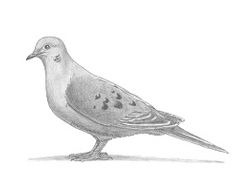 How to Draw a Mourning Dove Bird Pigeon