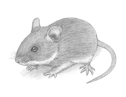 How to Draw a Cute House Mouse Field Mouse