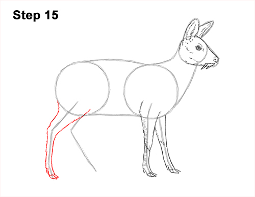 How to Draw a Siberian Musk Deer Fangs Teeth 15
