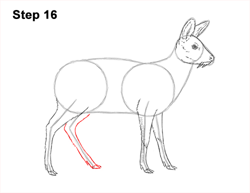 How to Draw a Siberian Musk Deer Fangs Teeth 16