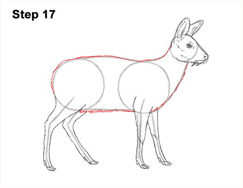How to Draw a Siberian Musk Deer Fangs Teeth 17