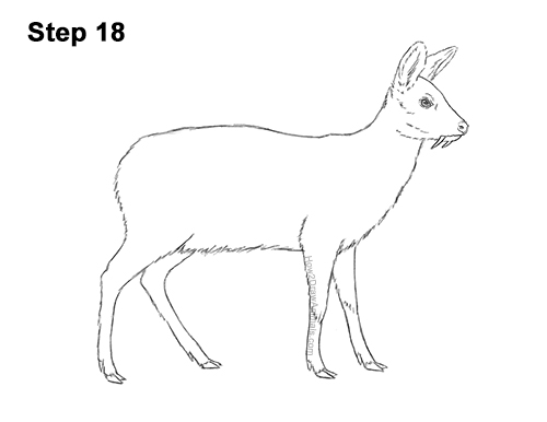 How to Draw a Siberian Musk Deer Fangs Teeth 18