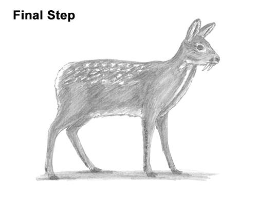How to Draw a Siberian Musk Deer Fangs Teeth