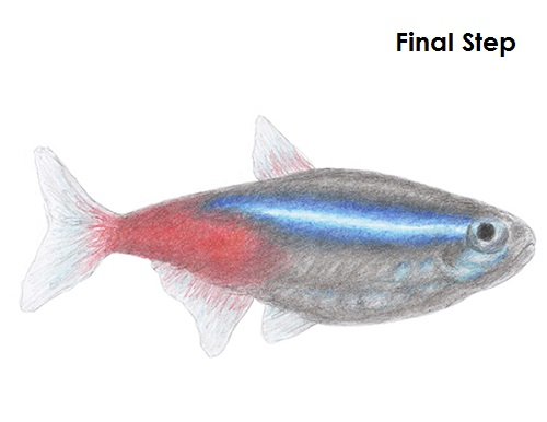 Draw Neon Tetra Fish Final